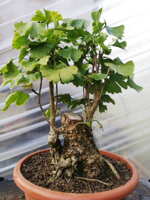 Chunky Ginkgo Biloba Bonsai Tree