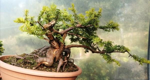 Taxus Baccata Summergold Yew Bonsai Material