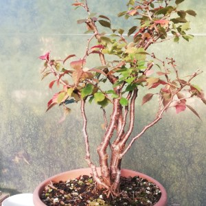 Prunus Kojo No Mai Fuji Cherry Clump style Bonsai