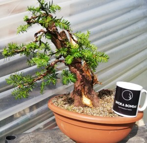 Taxus Baccata Yew Bonsai Material