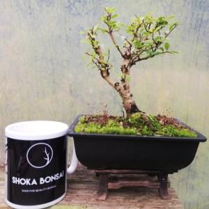 Cork Bark Chinese Elm Bonsai starter bonsai