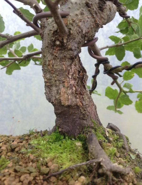 Holm Oak/Quercus Ilex evergreen Bonsai Tree