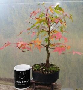 Japanese Maple Acer Palmatum starter bonsai material