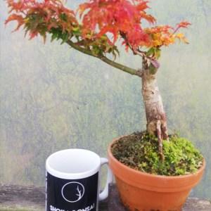 Japanese Maple Acer Palmatum Shishigashira starter bonsai material
