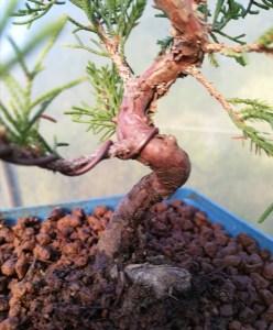 Chinese Juniper Itoigawa Shohin Bonsai Tree in training