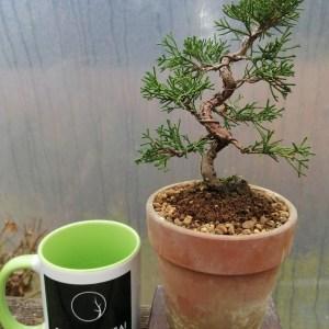 Chinese Juniper Itoigawa Mame Bonsai Tree