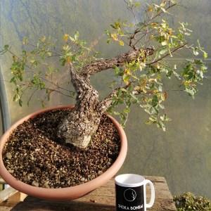 Quercus Faginea Portuguese Oak Yamadori Bonsai Material