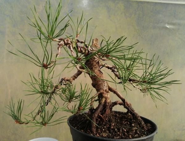 Pinus Sylvestris Bonsai Material