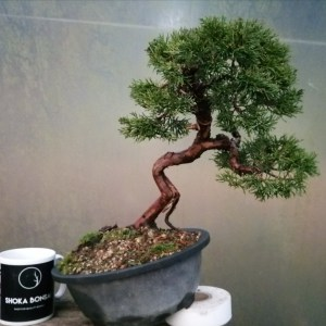 Quality Chinese Juniper bonsai Tree