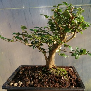 Common Myrtle Bonsai tree