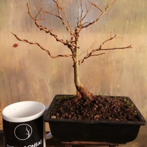 Japanese Grey Bark Bonsai Tree