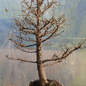 Large Larch bonsai tree material