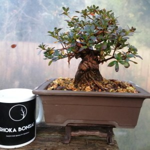 High Quality Shohin Satsuki Azalea Bonsai