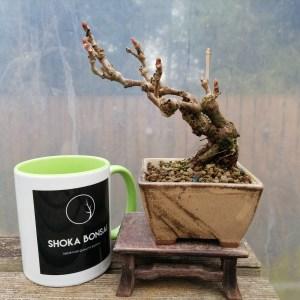 Boston ivy/Parthenocissus Tricuspidata Shohin Bonsai