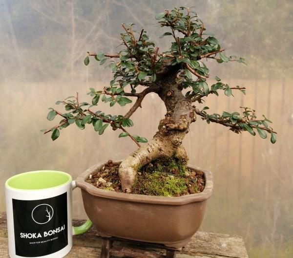 Cotoneaster flowering Bonsai Tree