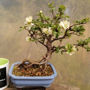 Dwarf Japanese Quince Bonsai Tree