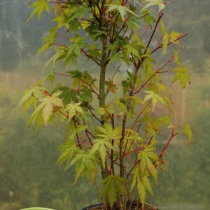 Japanese Maple group/forest Bonsai