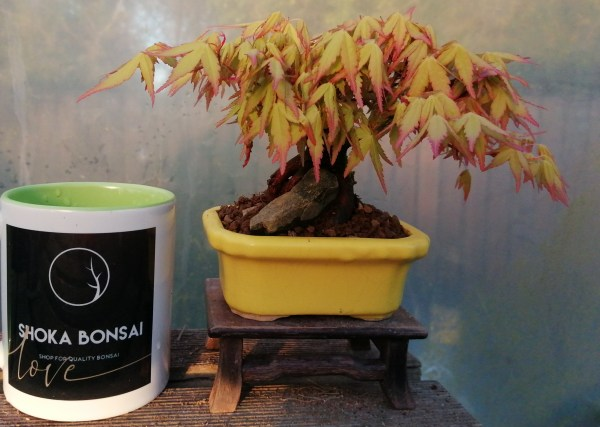 Japanese maple katsura bonsai tree