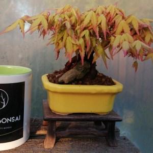 Japanese maple katsura bonsai tree