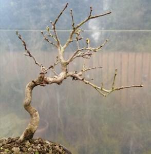 Elegant Korean Hornbeam Bonsai Tree