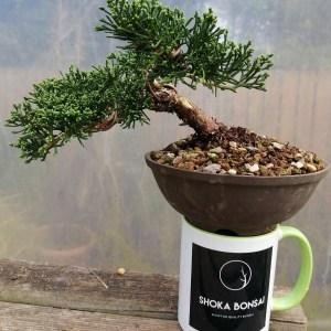 Shimpaku chinese juniper Bonsai Tree