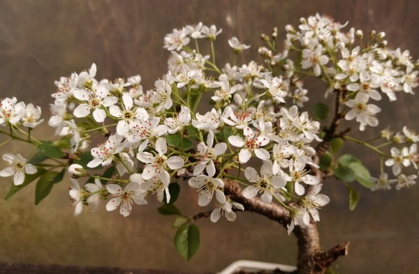 St lucie cherry bonsai tree