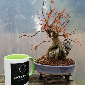 High Quality Acer Buergerianum Trident Maple root over rock Bonsai Tree