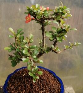 dwarf quince chojubai Bonsai Tree