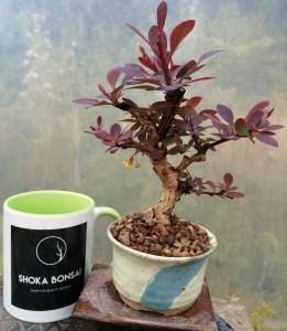 Barberry/Berberis atropurpurea Mame Bonsai tree