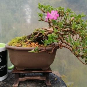 Dwarf Alpine Japanese Azalea Bonsai tree