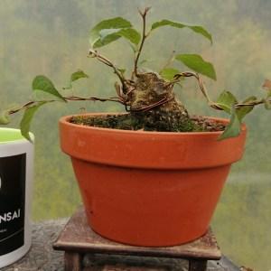 Ilex Serrata winterberry mame bonsai tree