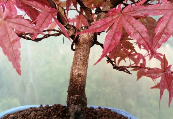 Japanese Maple Acer Palmatum Deshojo Variety Bonsai Tree