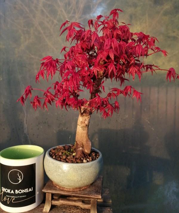 Japanese maple deshojo bonsai tree