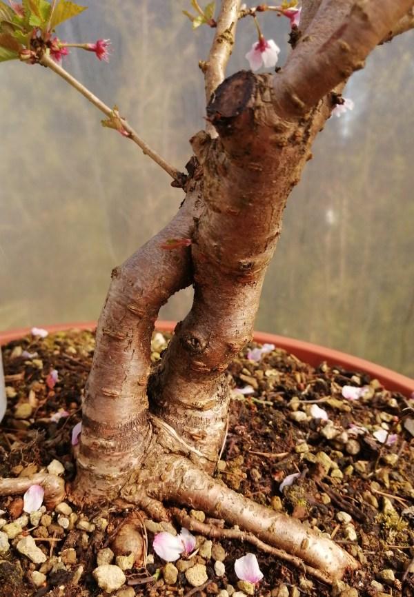 Large Prunus flowering Bonsai Material