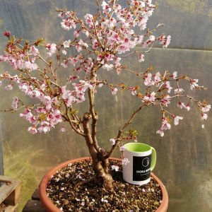 Large Prunus flowering Bonsai Material
