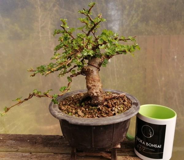 Nothofagus Beech Bonsai Tree