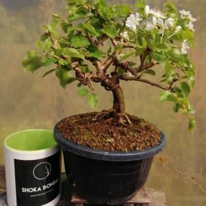 Prunus Mahaleb, St Lucie Flowering Cherry Bonsai Tree
