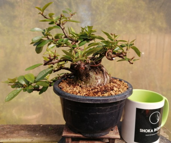Sumo trunk Pyracantha Firethorn Bonsai Tree