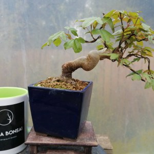 Acer Buergerianum Trident Maple Bonsai Tree