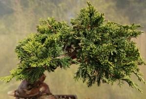 Chinese Juniper Itoigawa Bonsai Tree