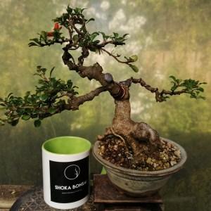 "Old Dwarf Quince, flowering ""Chojubai"" Bonsai tree"