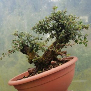Chunky trunk Cotoneaster flowering Bonsai Tree raw material