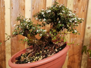 Cotoneaster Bonsai Material