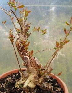 Great quality Pomegranate raw bonsai material