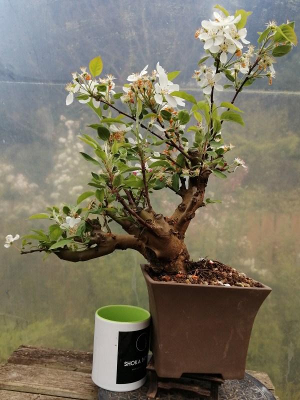 Large Flowering Crab Apple Bonsai Tree in training