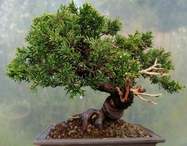 Great quality Juniper itoigawa bonsai tree