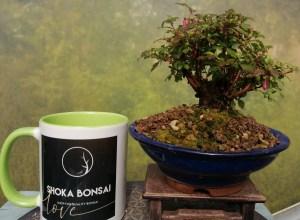 Micro Fuchsia Bonsai tree/Fuchsia Microphylla