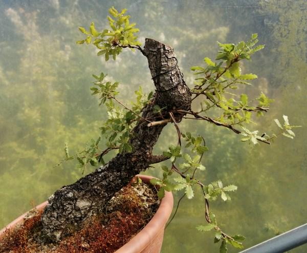 Portuguese Oak Quercus yamadori bonsai material