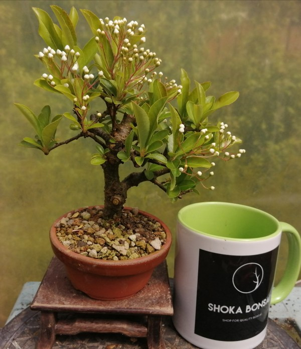 Pyracantha Firethorn small bonsai tree