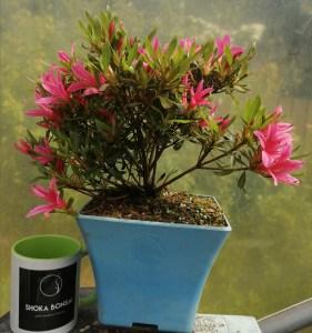 Lovely shrub Satsuki Azalea Shosai Variety